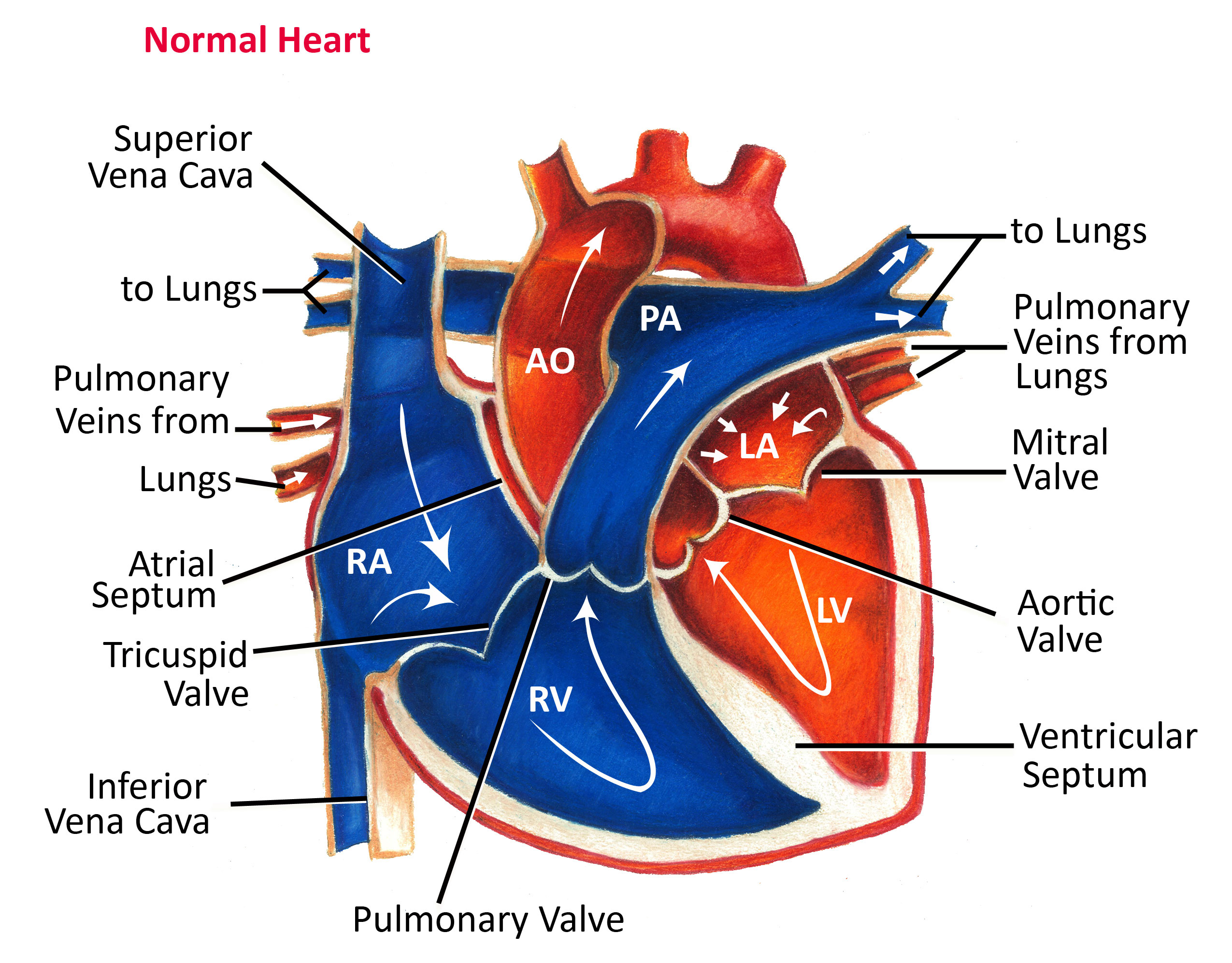 Normal Heart Anatomy And Blood Flow Pediatric Heart Specialists