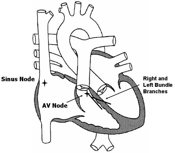 Normal Electrical Conduction - Pediatric Heart Specialists